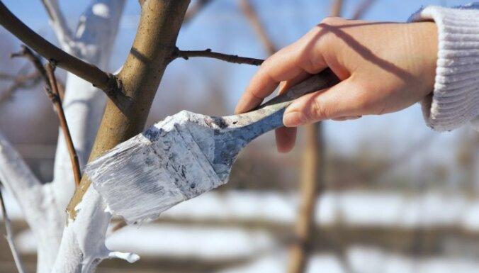 Фото побелки деревьев