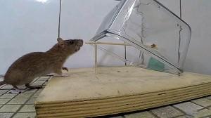 Фото самодельного капкана для крысы