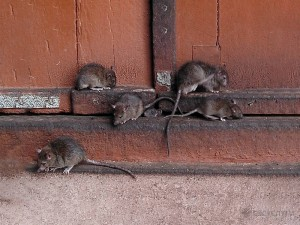 Фото крыс в доме